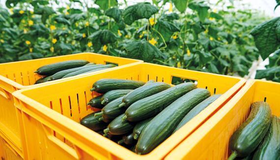 Vegetable crop